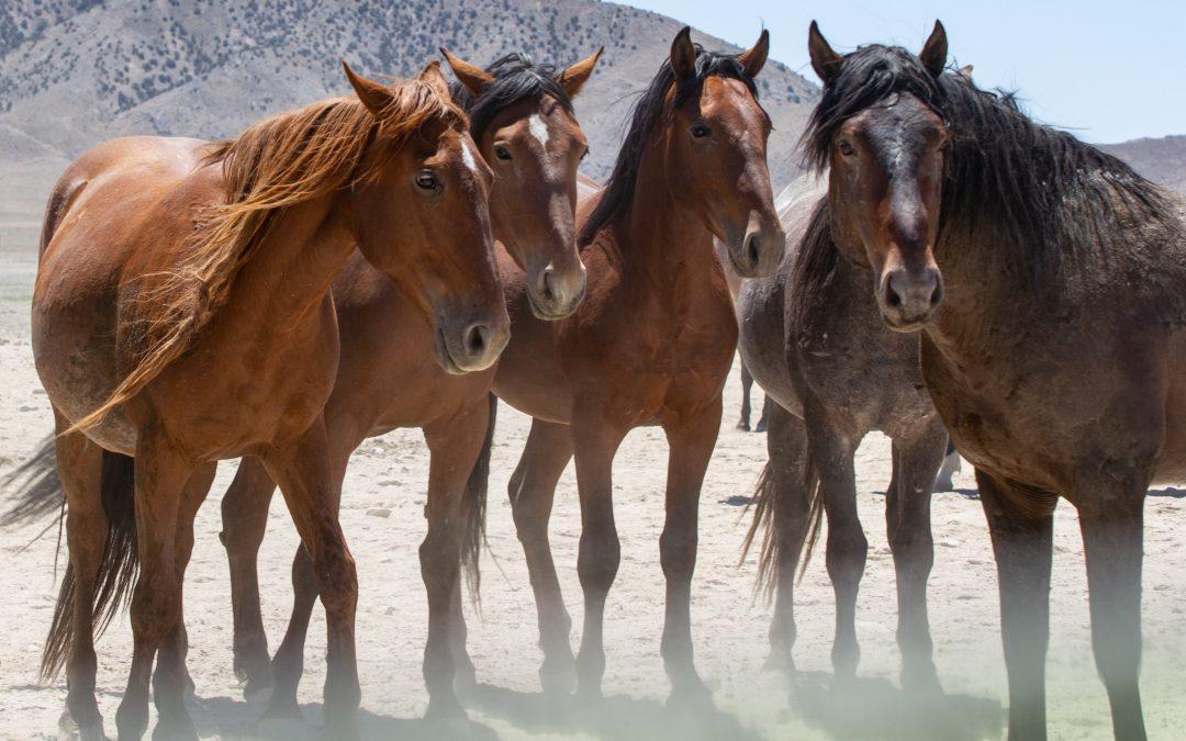 Onaqui Wild Horses